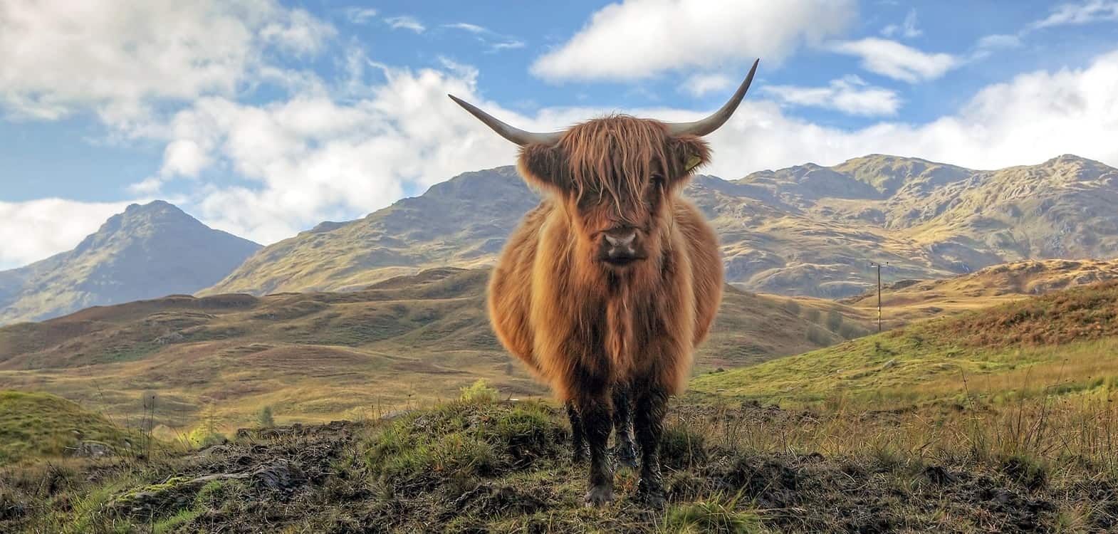 face on view of Highland cow with the Cairngorm mountains behind him