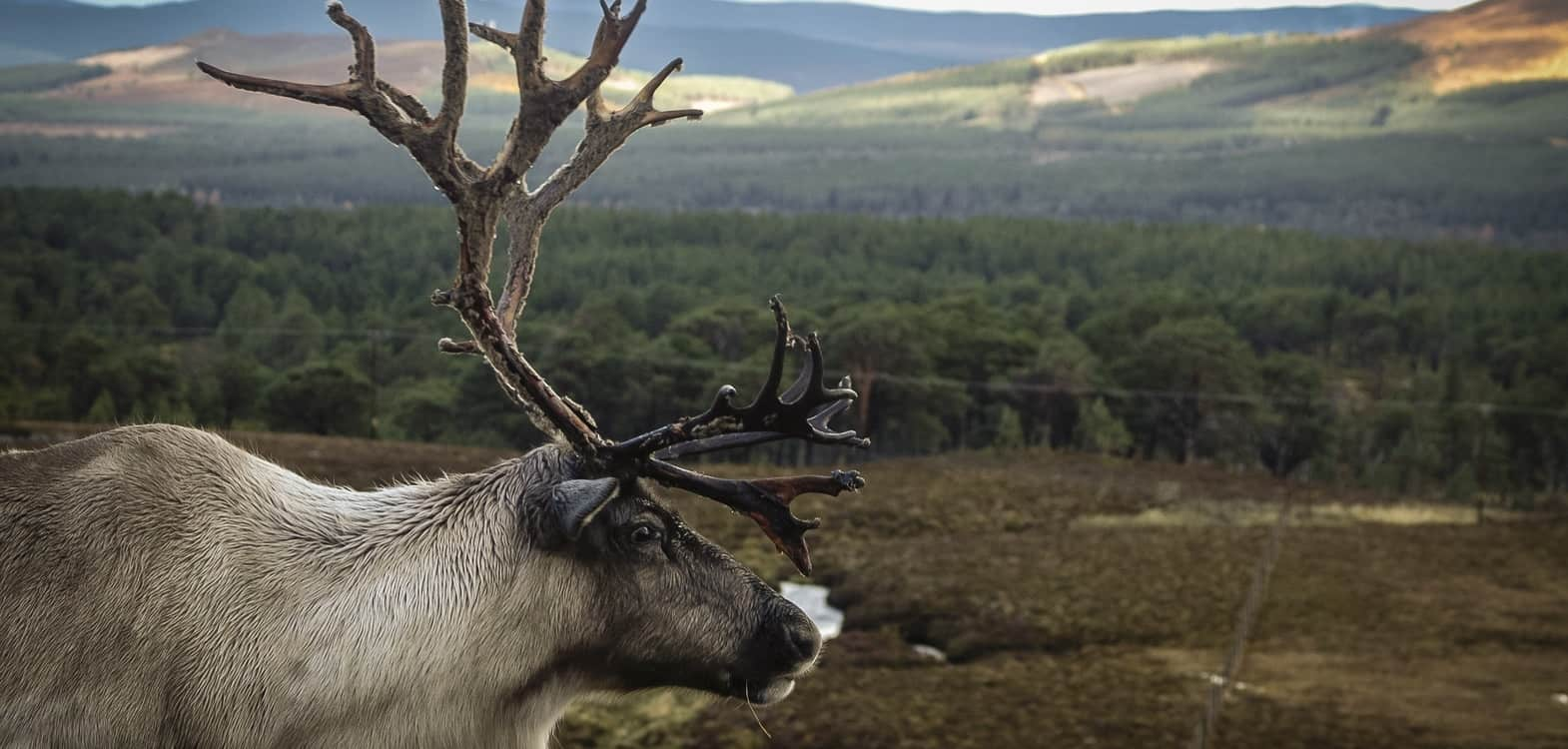 Side view of a reindeer at the Cairngorms Reindeer herd with a view over the mountains